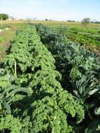 Miles of kale