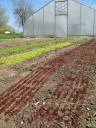 Colorful  lettuces planted with a 6 row seeder