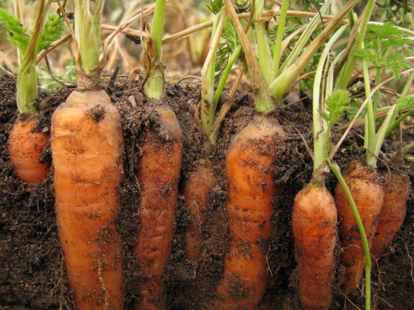 Harvesting carrots in the field. The ground is still soft and pliable.
