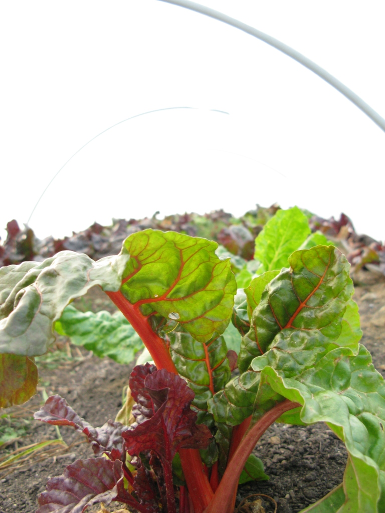 Rainbow chard under quickhoops