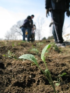 Volunteers planting kale out in the field