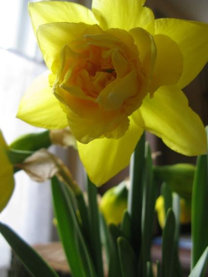 Narsissas are blooming